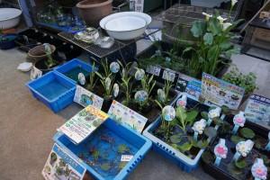 初夏のお楽しみ、水生植物が入荷しています。