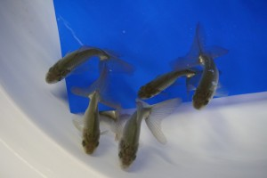 金魚 日本一大会 当歳魚の部 総合優勝 大井氏作 当歳 オランダ 限定数入荷