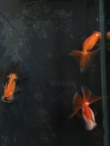 紅葉蝶尾 浜松産 6センチ位 横見も紅葉なので、鱗がキラキラしています。